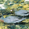 11001-41813  Blue duck, or whio (Hymenoliamus malacorhynchos) pair swimming in shallows. Recent genetic work suggests whio are unique within the Anatinae subfamily. Unlike all other NZ waterfowl, both living and extinct, they have no Australian relatives. Clinton Valley, Fiordland *