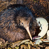 11001-01503  North Island brown kiwi (Apteryx mantelli) close-up of freshly hatched chick with eggshell in burrow *