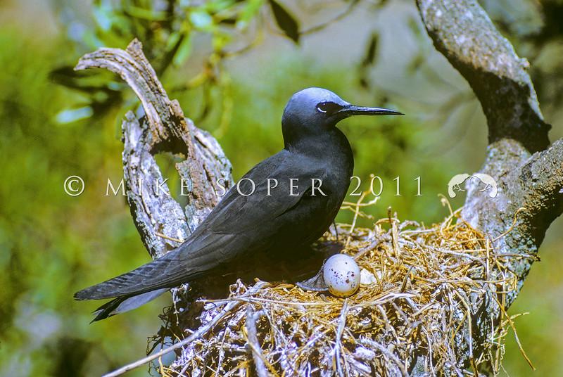11001-68201 Black noddy (Anous minutus minutus) adult on nest. Herald Island, Kermadecs Group