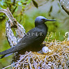 11001-68201 Black noddy (Anous minutus minutus) adult on nest. Herald Island, Kermadecs Group *