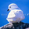 11001-17303  Greater snow petrel (Pagodroma nivea major) resting on rock. East Antarctica *