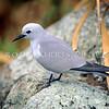 11801-68812  Grey ternlet (Procelsterna cerulea albivitta) adult on nesting cliffs, Phillip Island, Norfolk Group *