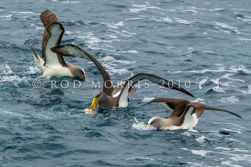 DSC_3716 Chatham Island albatross (Thalassarche eremita)  adult feeding at sea with two Bullers albatross, near Pyramid Rock, Chatham Islands *