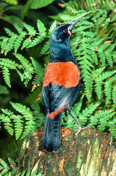 11001-88402  South Island saddleback, or tieke (Philesturnus carunculatus) female from Big South Cape Island *
