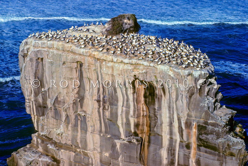 11001-31705 Australasian gannets (Morus serrator) breeding colony at Muriwai in early morning light. Gannet Rock, Muriwai Beach *