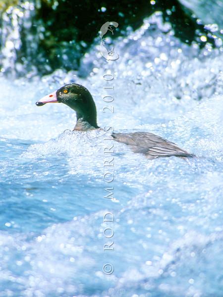 11001-42208 Blue duck (Hymenoliamus malacorhynchos) male in swift water, Newton Creek, Arahura Valley