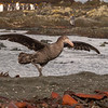 Northern Giant petrel (Macronectes halli) resting on beach. Macquarie Island *