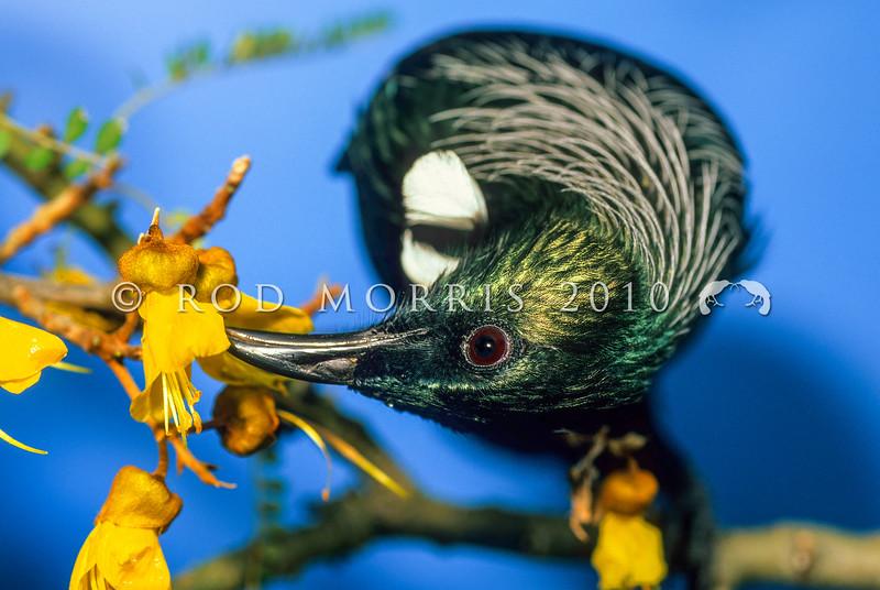 11001-84403 Tui (Prosthemadera novaeseelandiae) visiting kowhai flowers. Otago Peninsula *