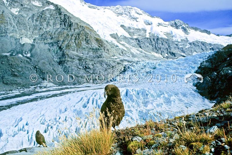 11001-71917 Kea or mountain parrot (Nestor notabilis) young birds above the Dart Glacier, Mount Aspiring np *