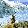 11001-71917 Kea or mountain parrot (Nestor notabilis) young birds above the Dart Glacier,