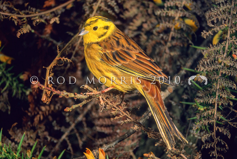 11001-84914  Yellowhammer (Emberiza citrinella) portrait of male in hedgerow.Yelllowhammers are more abundant here, than in parts of Europe, where they are now in serious decline.