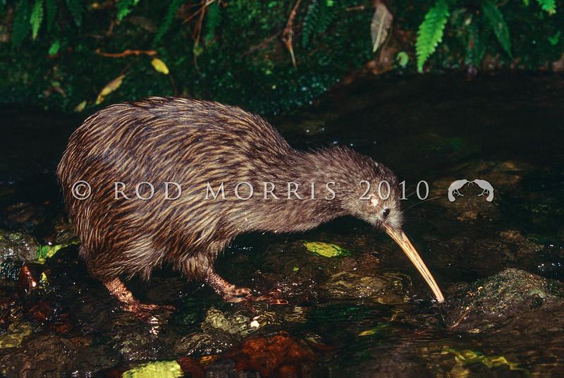 11001-02024  Eastern brown kiwi (Apteryx mantelli) fishing
