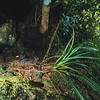 11001-42005  Blue duck, or whio (Hymenoliamus malacorhynchos) female on nest beneath rock overhang. Recent genetic work suggests whio are unique within the Anatinae subfamily. Unlike all other NZ waterfowl, both living and extinct, they have no Australian relatives. Arthur Valley, Fiordland *