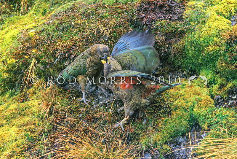 11001-71923 Kea or mountain parrot (Nestor notabilis) adult feeding fledgling in sleet. Rastus Burn, Otago *