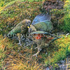 11001-71923 Kea or mountain parrot (Nestor notabilis) adult feeding fledgling in sleet. Rastus Burn, Otago *