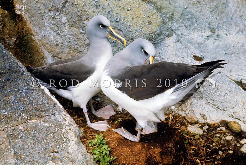 11001-11608  Northern Buller's albatross (Thalassarche bulleri platei) 'scapular action' courtship behaviour on nest. Middle Sister Island, Chathams Group *