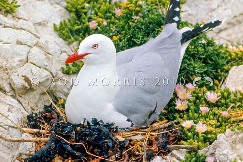 11001-63404 Red-billed gull (Larus scopulinus) adult incubating eggs on nest in colony, Kaikoura