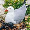 11001-63404 Red-billed gull (Chroicocephalus novaehollandiae scopulinus) adult incubating eggs on nest in colony, Kaikoura