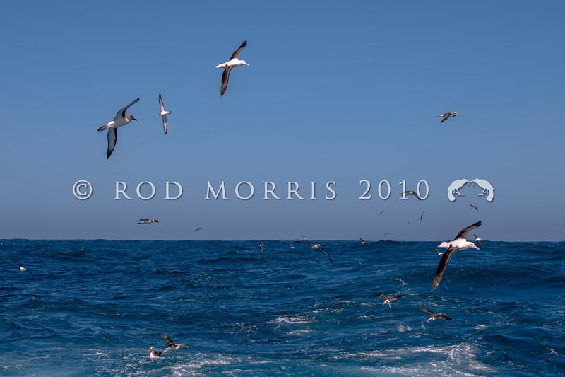 DSC_3027 Northern Royal albatross (Diomedea sanfordi), with Chatham Island albatross (Thalassarche eremita), and Norther Bullers albatross (Thalassarche bulleri platei), at sea south-east of Pyramid Rock, Chatham Islands *