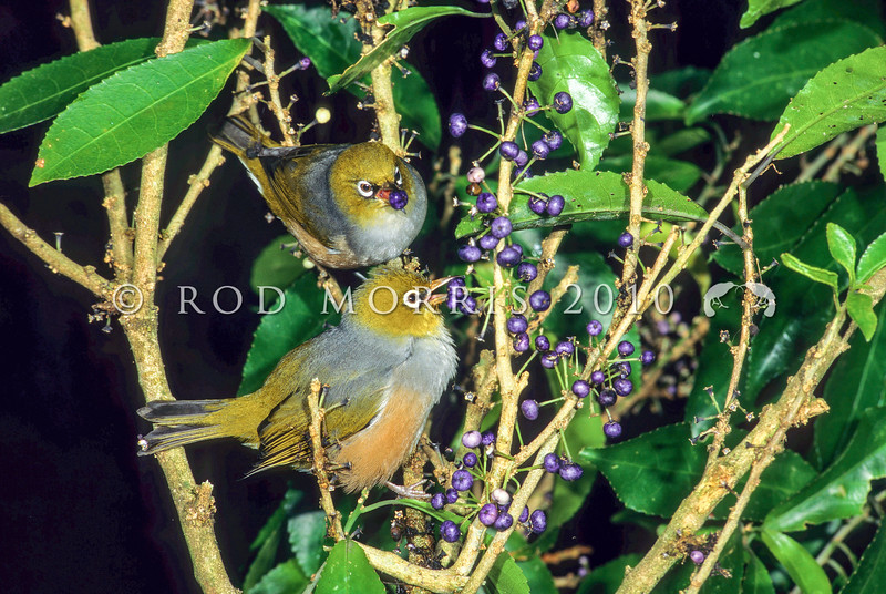 11001-83103  Silvereye (Zosterops lateralis lateralis) eating mahoe fruits. First recorded here in 1832, and recorded breeding in 1856, the silvereye is now abundant throughout New Zealand. This subspecies hails from southeastern Australia and Tasmania *