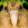11001-70711 Kakapo (Strigops habroptilus) a close-up of 'Sinbad's whiskery face. Maud Island August 1999 *