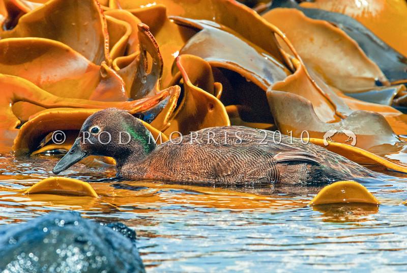 DSC_0060 Auckland Island flightless teal (Anas aucklandica) male feeding on wave platform on shore. Enderby Island, Auckland Islands