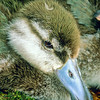 11001-42201 Blue duck (Hymenoliamus malacorhynchos) closeup of four week old duckling *
