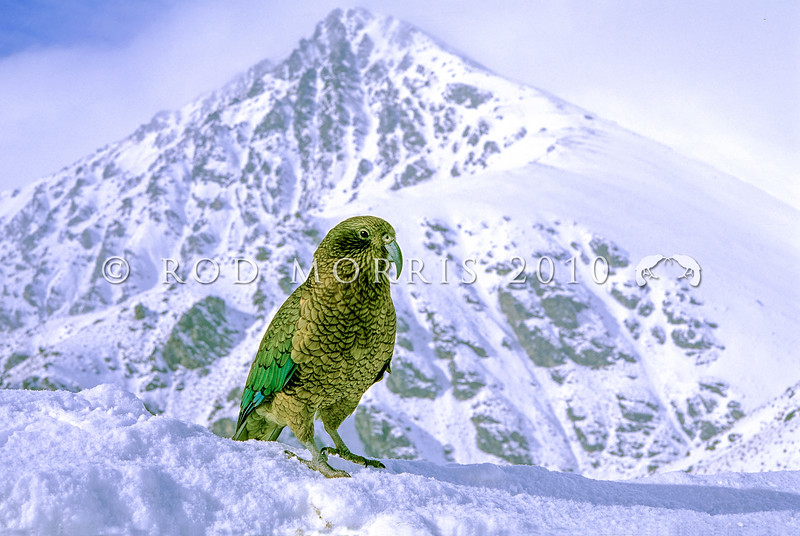 11001-72220 Kea or mountain parrot (Nestor notabilis) in snow. Rastus Burn, Otago *
