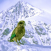 11001-72220 Kea or mountain parrot (Nestor notabilis) in snow. Rastus Burn, Otago *