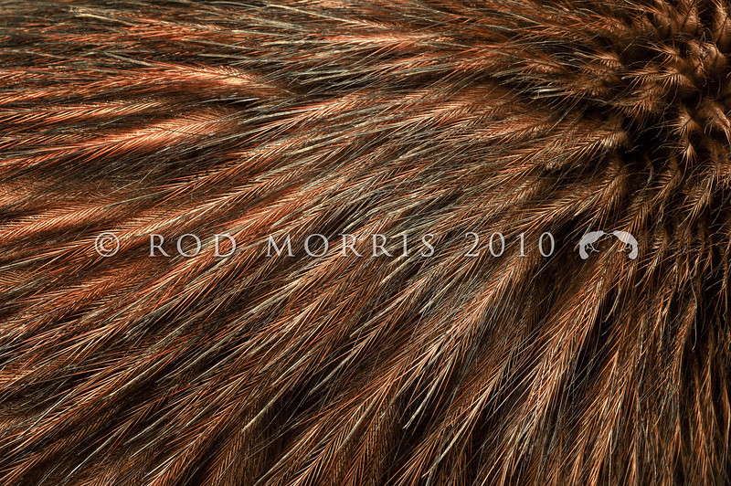 DSC_1014  North Island brown kiwi (Apteryx mantelli) close-up detail of feathers *
