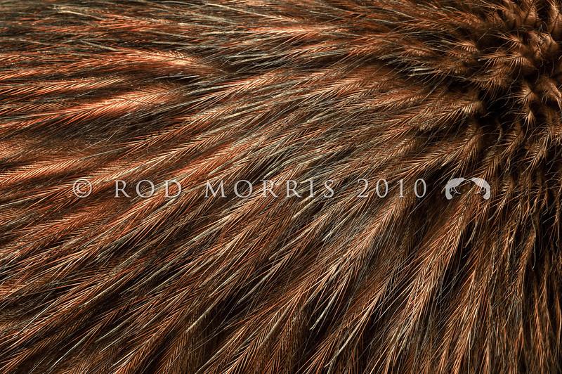 DSC_1014  North Island brown kiwi (Apteryx mantelli) close-up detail of feathers *