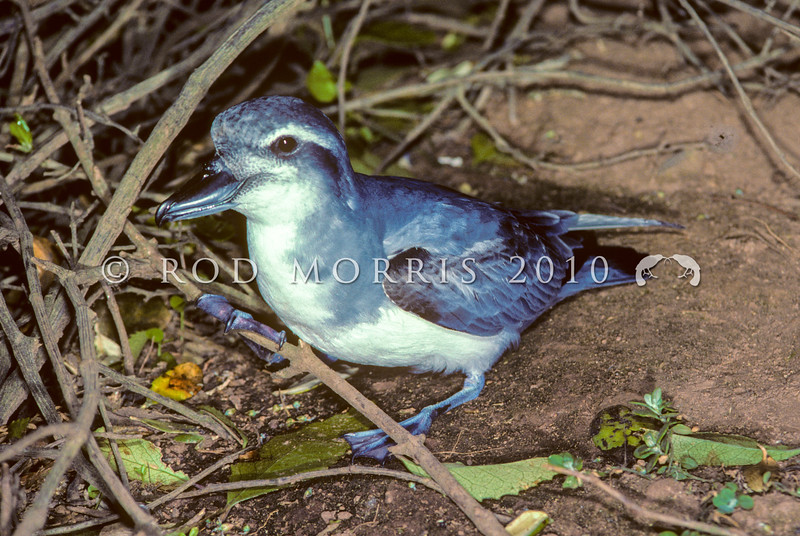 11001-19303 Broad-billed prion (Pachyptila vittata) adult on forest floor. South East Island *