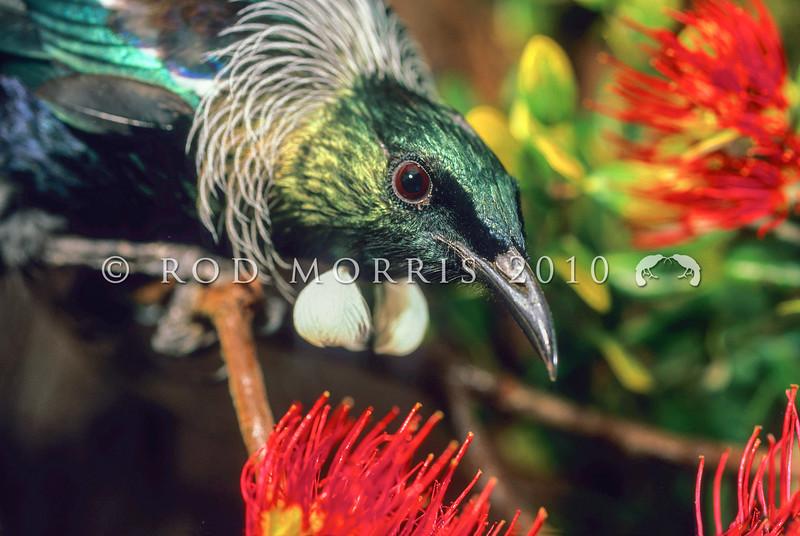 11001-84305 Tui (Prosthemadera novaeseelandiae) male visiting pohutukawa flowers. Otago Peninsula *