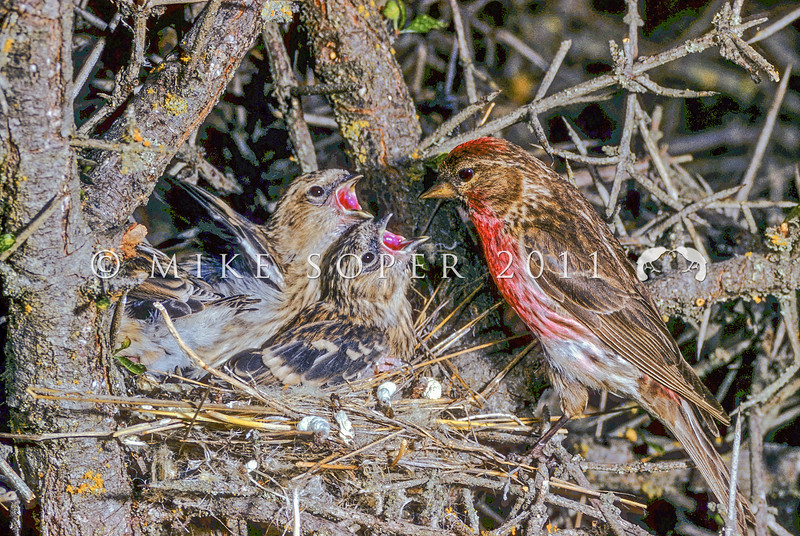 11001-85919 Common redpoll (Carduelis flammea) male feeding nestlings in matagouri. While this breeding male displays a distinct red wash on its breast, many breeding males are a less distinctive pink instead. *