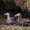 DSC_2553 Northern Giant petrel (Macronectes halli) pair resting on beach in Garden Cove. Perseverance Harbour, Campbell Island *