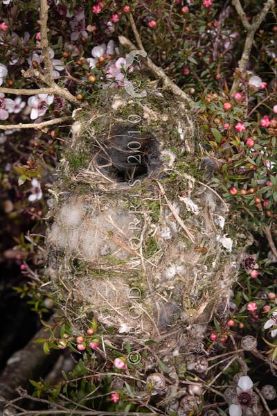 DSC_5627 Grey warbler (Gerygone igata)  nest concealed in pink manuka scrub (Leptospermum scoparium var. incanum). Te Paki, Northland *
