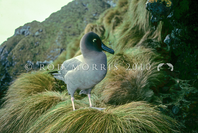 11001-11908  Light-mantled sooty albatross (Phoebetria palpebrata) adult on tussock nesting ledge. Antipodes Island *