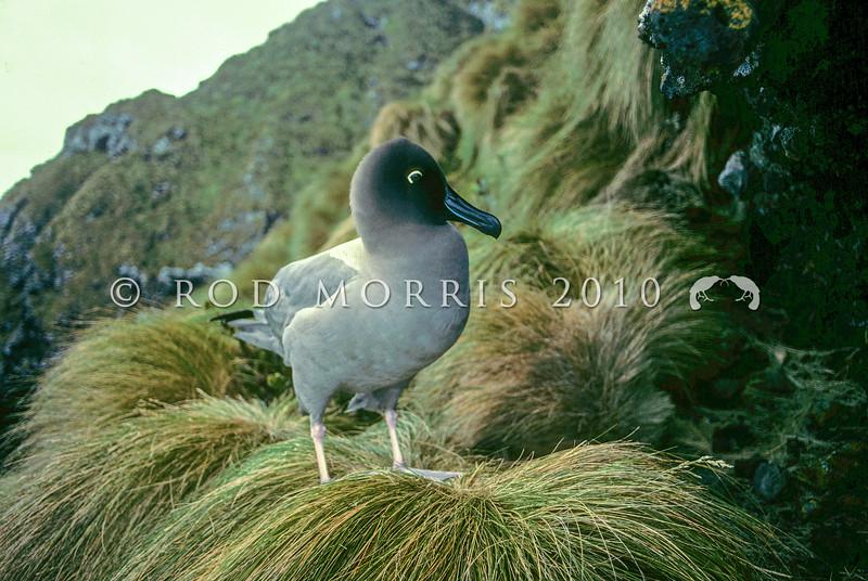11001-11908  Light-mantled sooty albatross (Phoebetria palpebrata) adult on tussock nesting ledge. Antipodes Island
