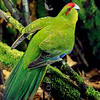 11001-73501 Red-crowned parakeet, or kakariki (Cyanoramphus novaezelandiae novaezelandiae) male on forest floor. Although this species is the commonest native bird in captivity, it is almost extinct in the wild on mainland New Zealand, surviving only on predator-free offshore islands *