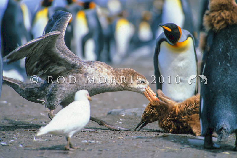 11001-18209 Northern Giant petrel (Macronectes halli) attacking king penguin chick on beach *
