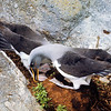 11001-11607 Northern Buller's albatross (Thalassarche bulleri platei) 'scooping action' courtship behaviour on nest. Middle Sister Island, Chathams Group *