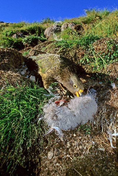 11001-72505 Kea or mountain parrot (Nestor notabilis) young bird eating a Hutton's shearwater chick it has killed. Upper Kowhai Stream, Seaward Kaikoura Range *
