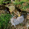 11001-72505 Kea or mountain parrot (Nestor notabilis) young bird eating a Hutton's shearwater chick it has killed. Upper Kowhai Stream, Seaward Kaikoura Range *