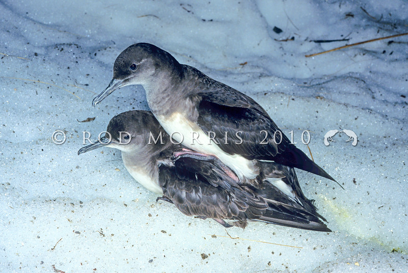 11001-15211 Hutton's shearwater (Puffinus huttoni) pair mating in the snow in their breeding ground on the NZ mainland. Nesting between 1200 and 1800m above sea level, these are amongst the highest seabird breeding grounds in the world. When the colonies were first discovered by Geoff Harrow, in 1965, there were eight colonies scattered through the Inland and Seaward Kaikoura Range. Today habitat destruction, and predation from introduced mammals, has reduced this to two colonies. Upper Kowhai Stream, Seaward Kaikoura Range *
