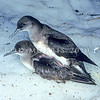 11001-15211 Hutton's shearwater (Puffinus huttoni) pair mating on snow. Upper Kowhai Stream, Seaward Kaikoura Range *