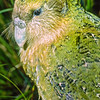 11001-70301 Kakapo (Strigops habroptilus) portrait of 'Mawson', the first Stewart Island kakapo captured and examined in the seventies, his plumage was an olive/sage green, and different from the rich, bright greens we were used to seeing in adult Fiordland kakapo. Mawson proved to be a young male, he was live-trapped by Rod in June 1979, banded, photographed and then released back into the Tin Range. Moa Flat, Stewart Island *