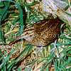 11001-57901 Chatham Island snipe (Coenocorypha pusilla) adult in rough pasture. Mangere Island, Chathams Group *