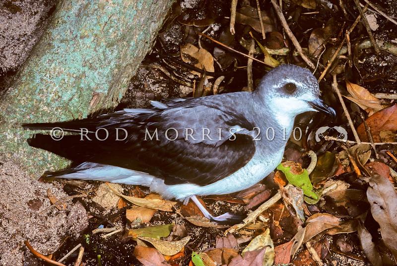 11701-20002  Black-winged petrel (Pterodroma nigripennis) adult. Lord Howe Island