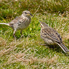 DSC_2263  Auckland Island pipit (Anthus novaeseelandiae aucklandicus) adult bringing insect food to fledgling. Auckland Island pipits are typically larger and yellower than New Zealand pipits. Enderby Island, Auckland Islands *
