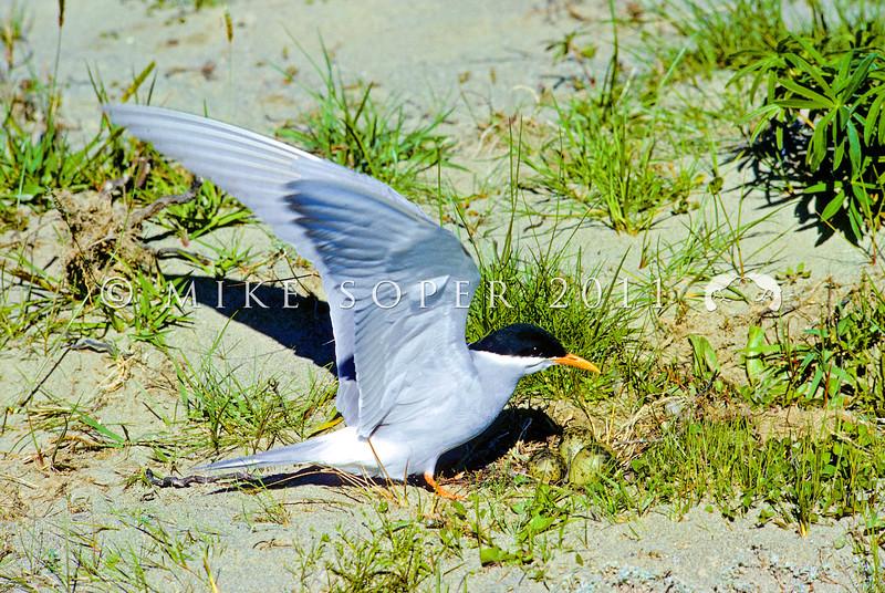 11001-64808 Black-fronted tern (Chlidonius albostriatus) male alighting at the nest. Mackenzie Country